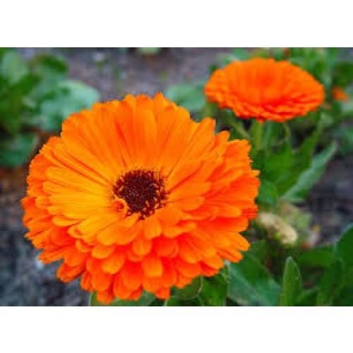 BEEseedzz – Ringelblume Bio Samen