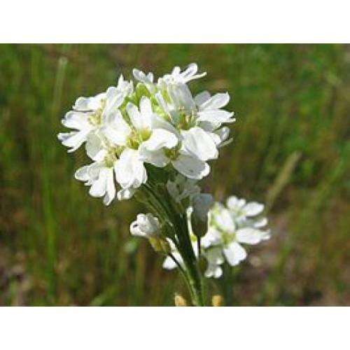 BEEseedzz – Hoary Alison Organic Seeds