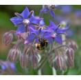 BEEseedzz – Starflower Organic Seeds
